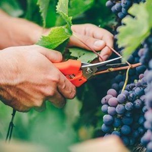 grapes-wine-harvesting